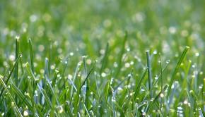 576px-Lawn_grass