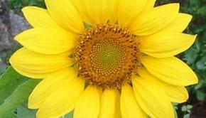sunflower2-640x480