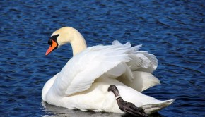 swan-1255475_960_720