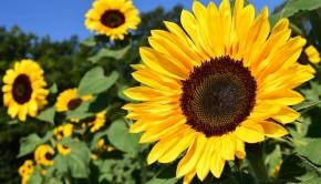 sunflower-1627193_960_720