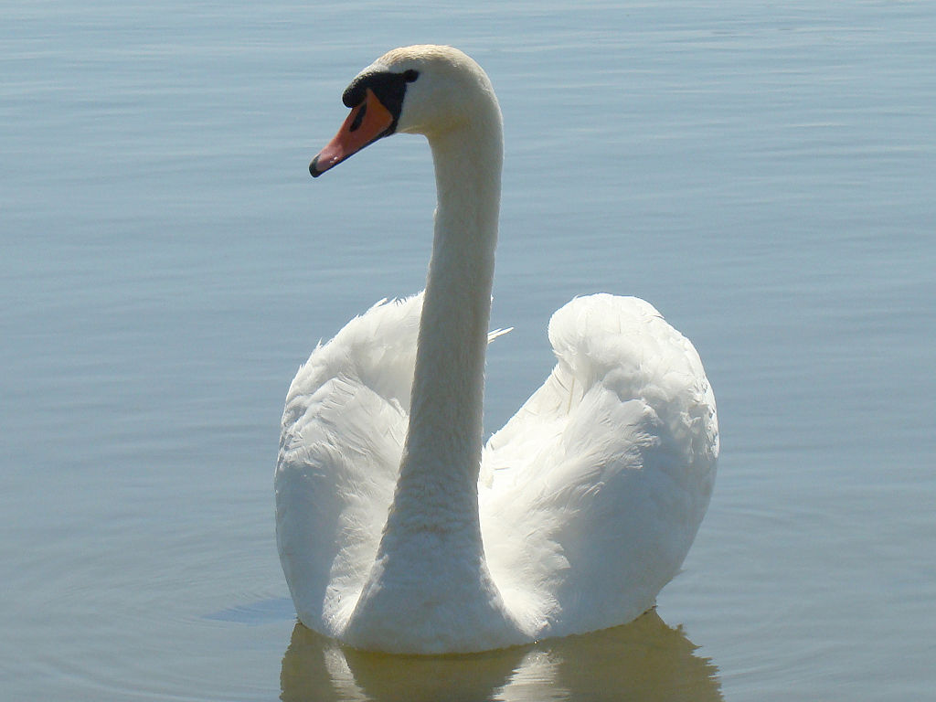 Photo of Swan watch this Sunday