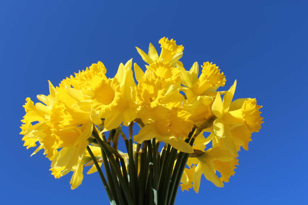 Photo of €6,648 raised on Daffodil Day in Boyle