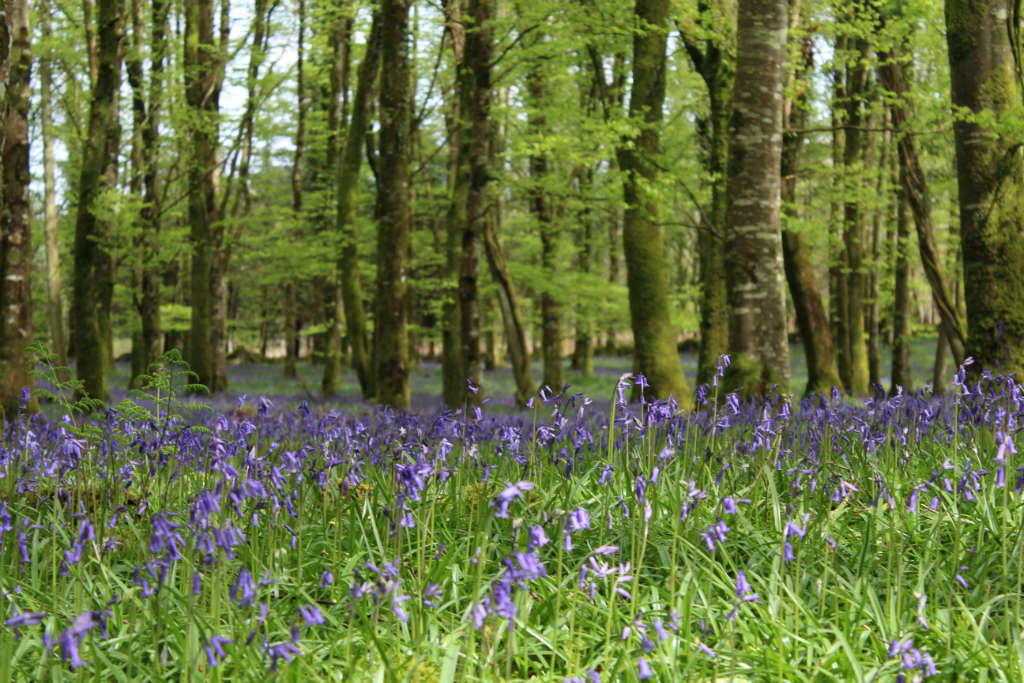 Photo of Bluebells in bloom at Dereen Woods