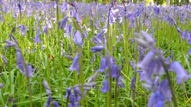 Photo of Observations on the Bluebells