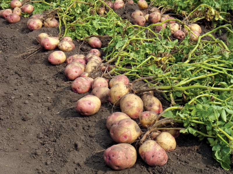 Photo of Potato growing event on Saturday