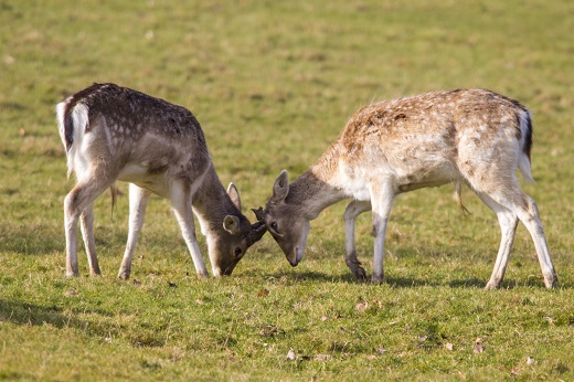 Photo of Warning issued as deer 'rutting' season starts