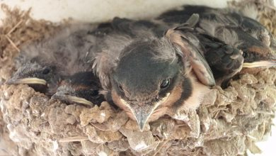 Photo of Help sought in identifying Swift nests in the county
