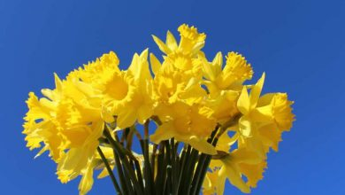 Photo of Please support Daffodil Day in Boyle on Friday